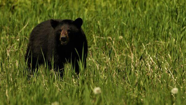 Un oso negro (archivo) - Sputnik Mundo