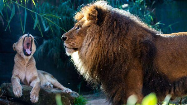 Una pareja de leones - Sputnik Mundo