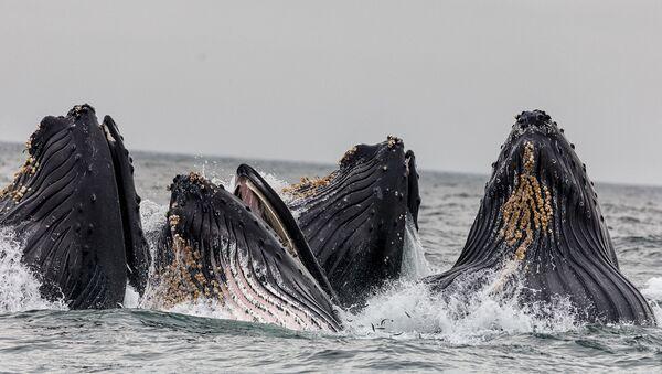 Unas ballenas jorobadas (archivo) - Sputnik Mundo