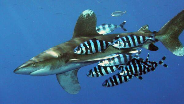 Tiburón oceánico de puntas blancas (Carcharhinus longimanus) - Sputnik Mundo