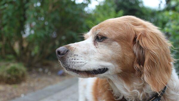 Un perro Épagneul Bretón - Sputnik Mundo