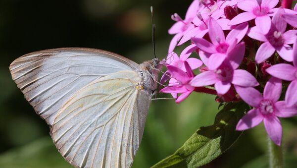 Mariposa de la especie 'Ascia monuste' - Sputnik Mundo