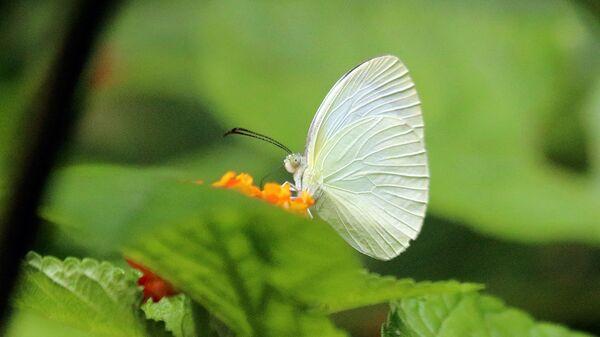Mariposa de la especie 'Eurema albula' - Sputnik Mundo