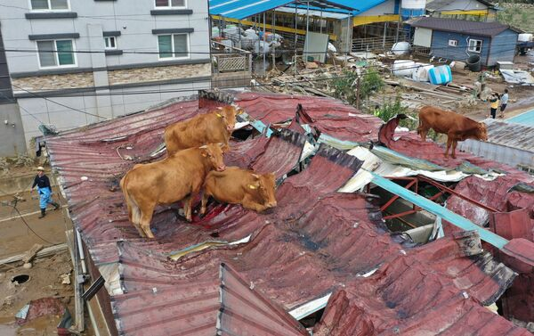 Коровы, застрявшие на крыше из-за наводнения в Южной Корее - Sputnik Mundo