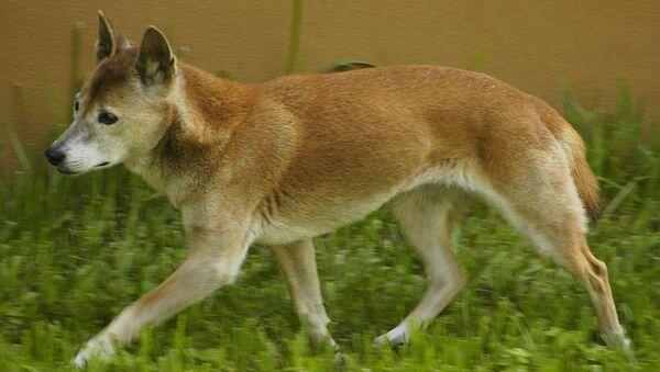 El perro cantor de Nueva Guinea - Sputnik Mundo