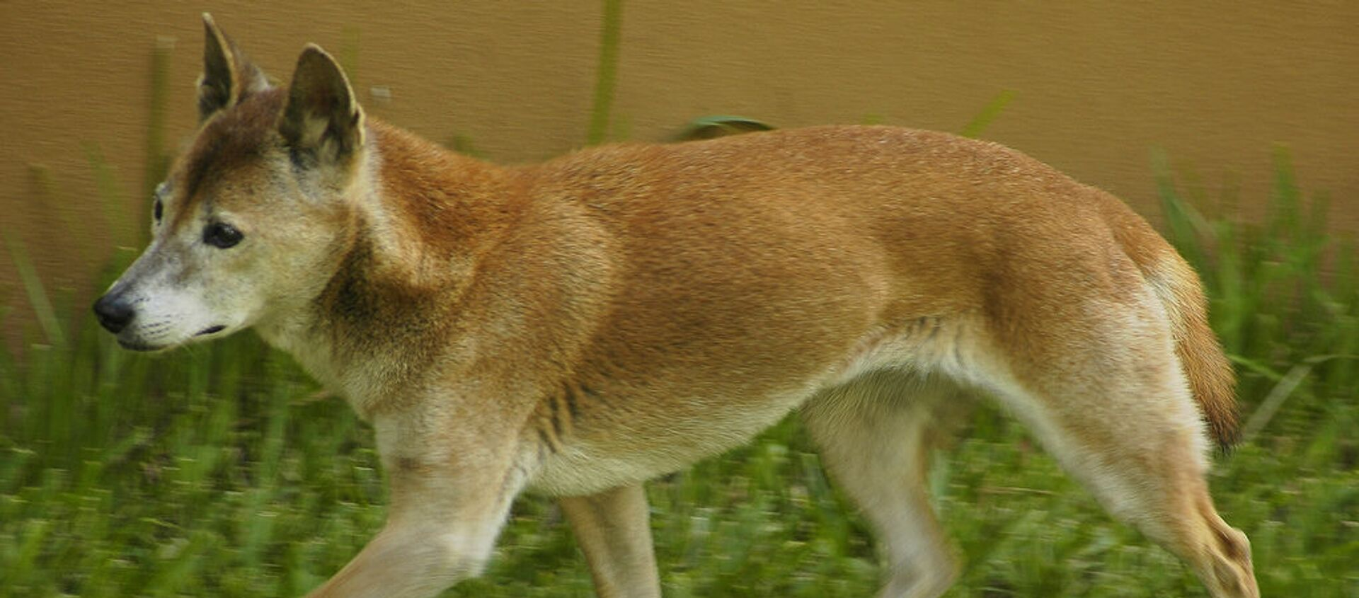 El perro cantor de Nueva Guinea - Sputnik Mundo, 1920, 01.09.2020