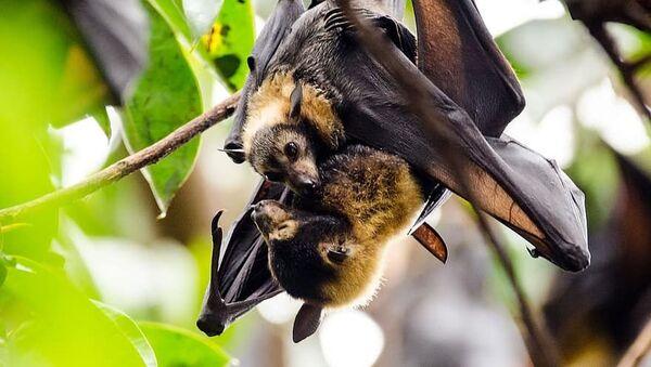 Murciélagos vampiro - Sputnik Mundo