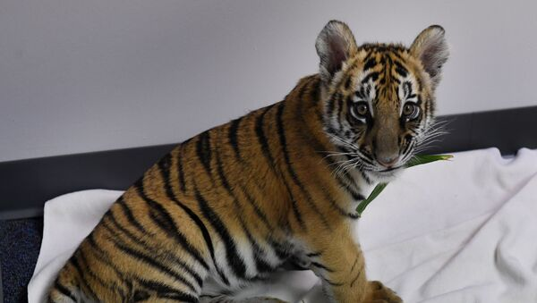 Un cachorro de tigre de Bengala, imagen referencial - Sputnik Mundo