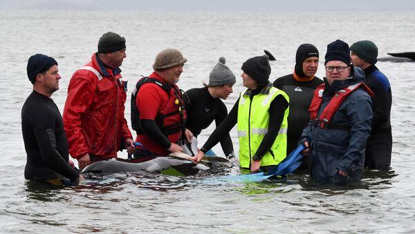 Rescatistas de ballenas piloto en Tasmania - Sputnik Mundo