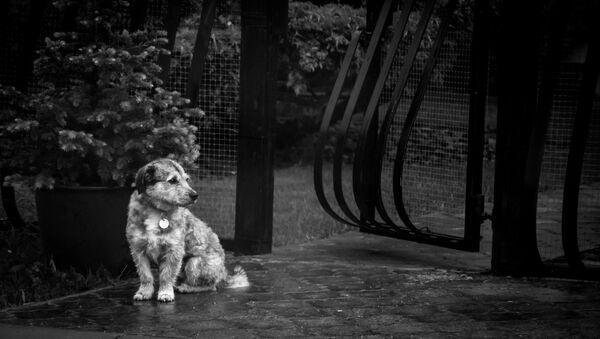 Un perrito bajo la lluvia (imagen referencial) - Sputnik Mundo