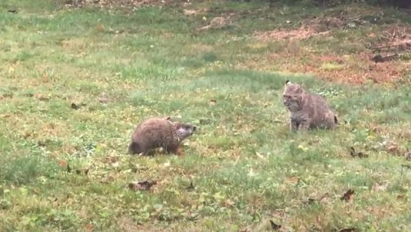 Un enfrentamiento entre una marmota y un lince: ¿cómo acabará? - Sputnik Mundo