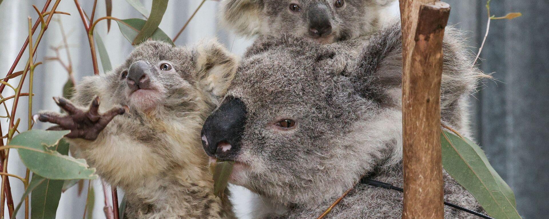 ¿Cómo rescatan a los koalas afectados por los incendios forestales? - Sputnik Mundo, 1920, 20.10.2020