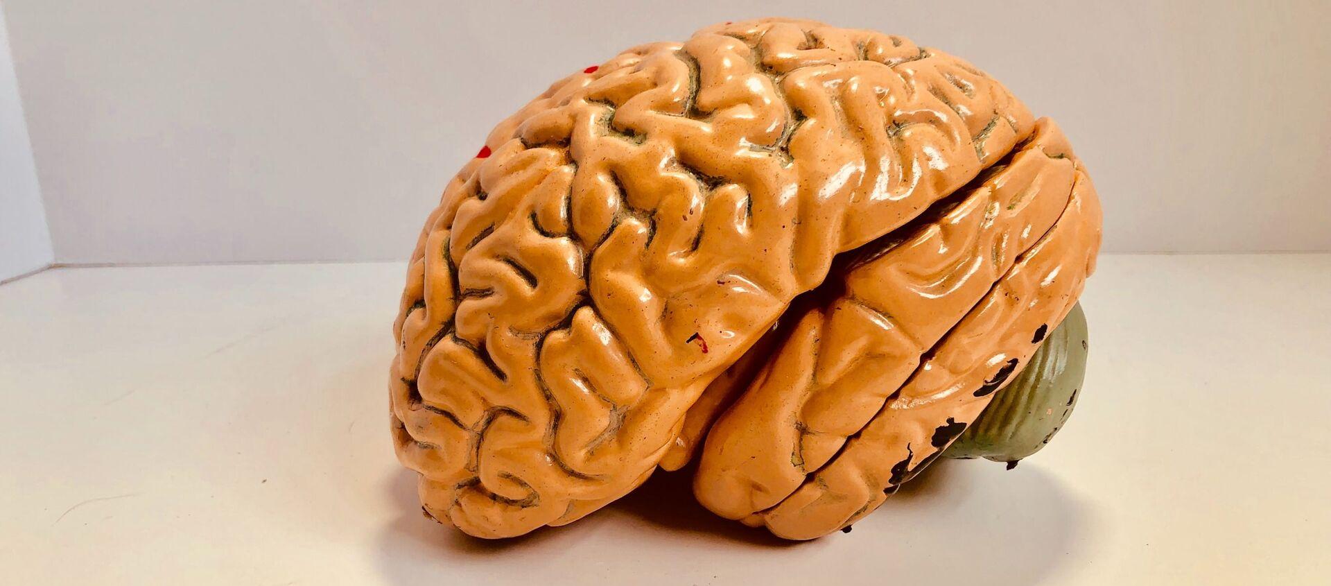 El modelo de un cerebro - Sputnik Mundo, 1920, 03.02.2021