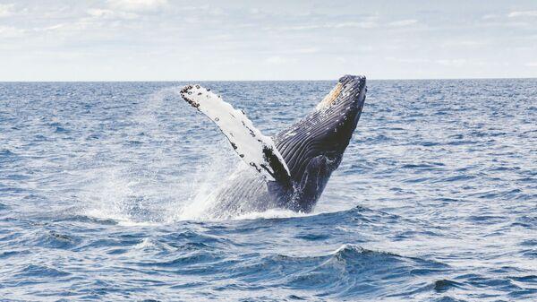 El salto de una ballena jorobada (archivo) - Sputnik Mundo