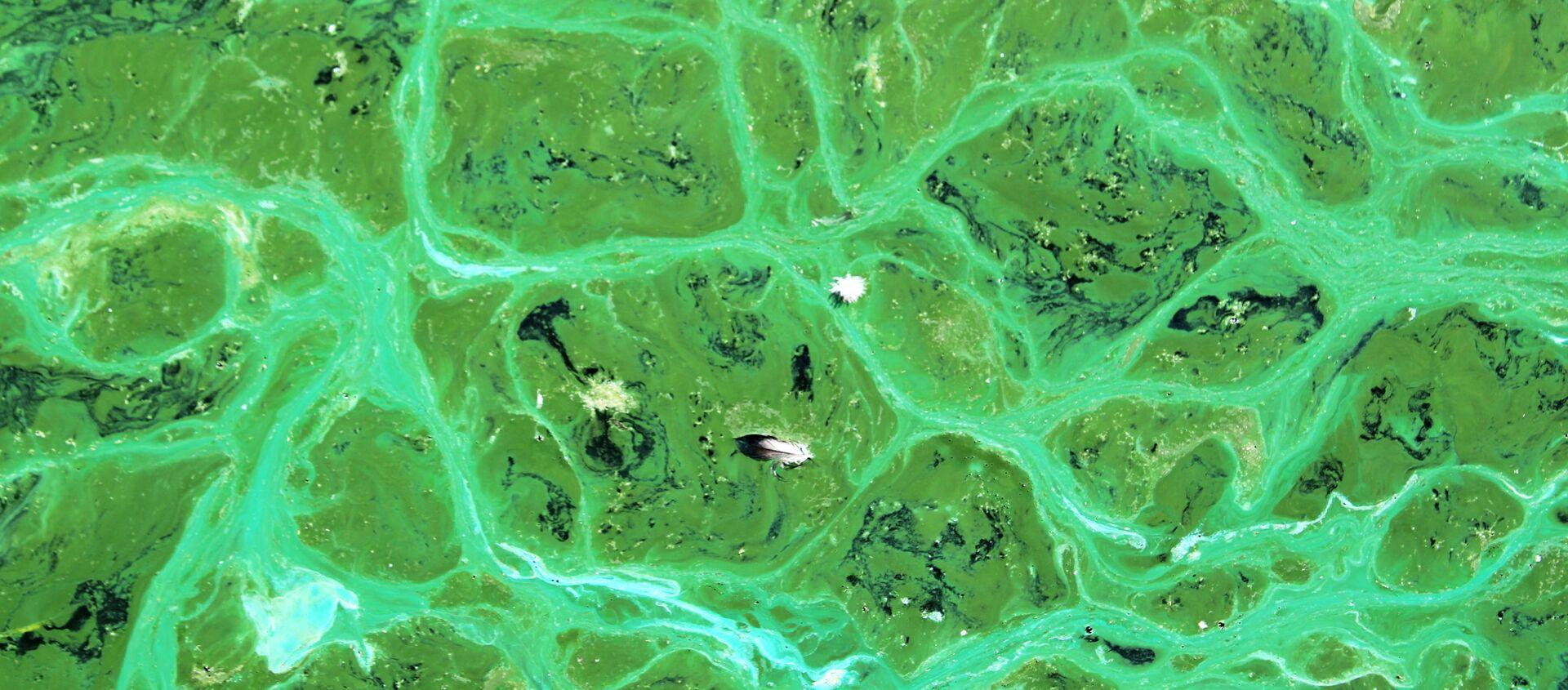 Cianobacterias - Sputnik Mundo, 1920, 30.11.2020