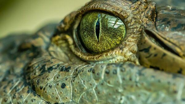 Ojo de un cocodrilo (imagen referencial) - Sputnik Mundo