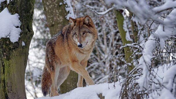 Un lobo, imagen ilustrativa - Sputnik Mundo