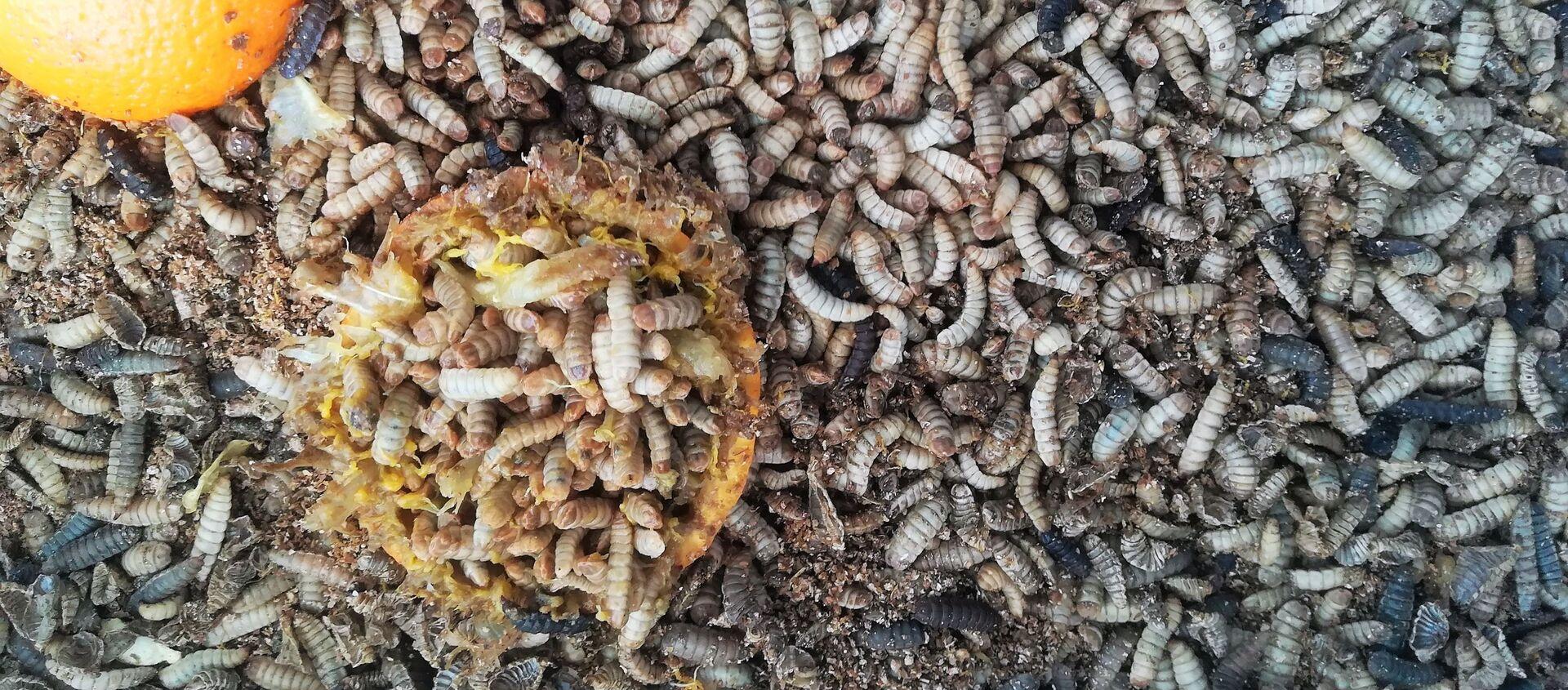 Unas larvas de mosca soldado negra (Hermetia illucens) - Sputnik Mundo, 1920, 05.01.2021