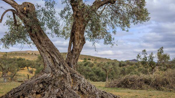 Un olivo en el pueblo de Oriete, en la provincia española de Teruel - Sputnik Mundo