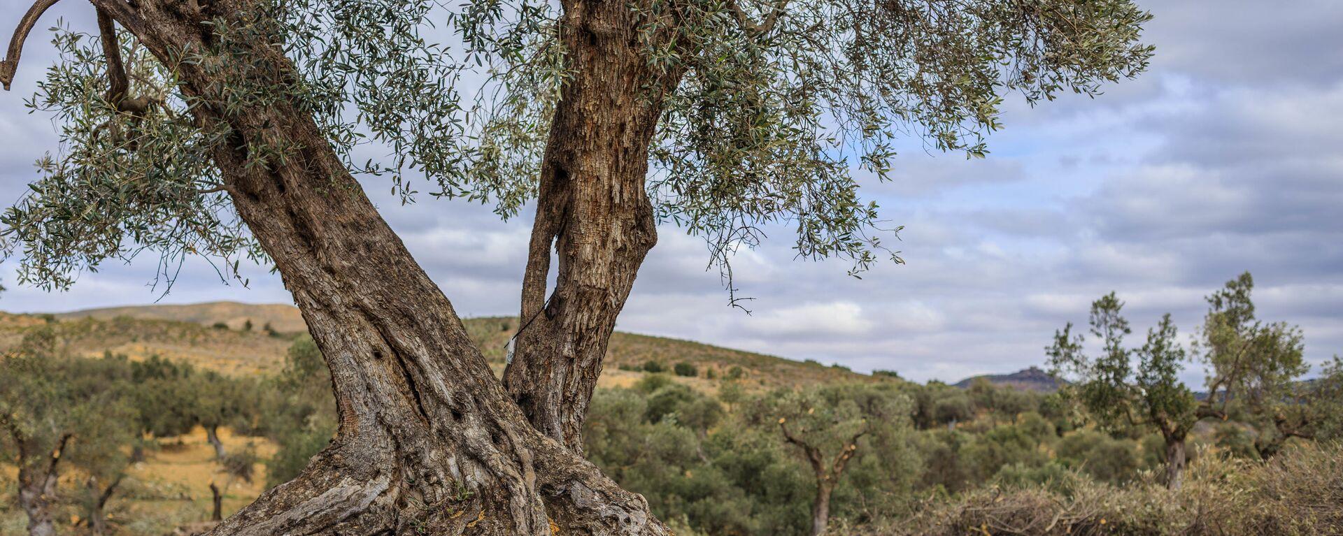 Un olivo en el pueblo de Oriete, en la provincia española de Teruel - Sputnik Mundo, 1920, 13.01.2021