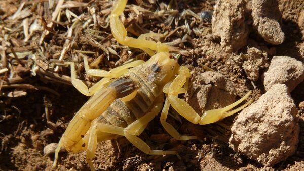 Un escorpión dorado, conocido como acechador de la muerte - Sputnik Mundo