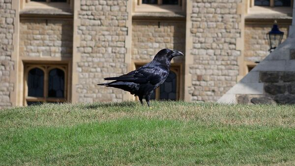 Un cuervo de la Torre de Londres - Sputnik Mundo