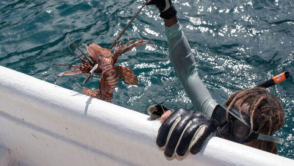 El pez león en la costa de Chichiriviche de la Costa, Venezuela - Sputnik Mundo