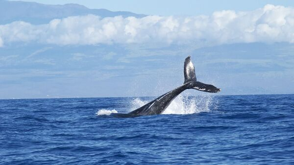 Una ballena (imagen referencial) - Sputnik Mundo
