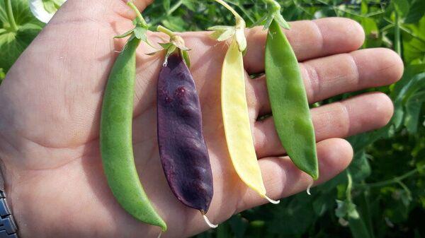 Diferentes tipos de guisantes cultivados en navazo por el español Rafael Monge - Sputnik Mundo