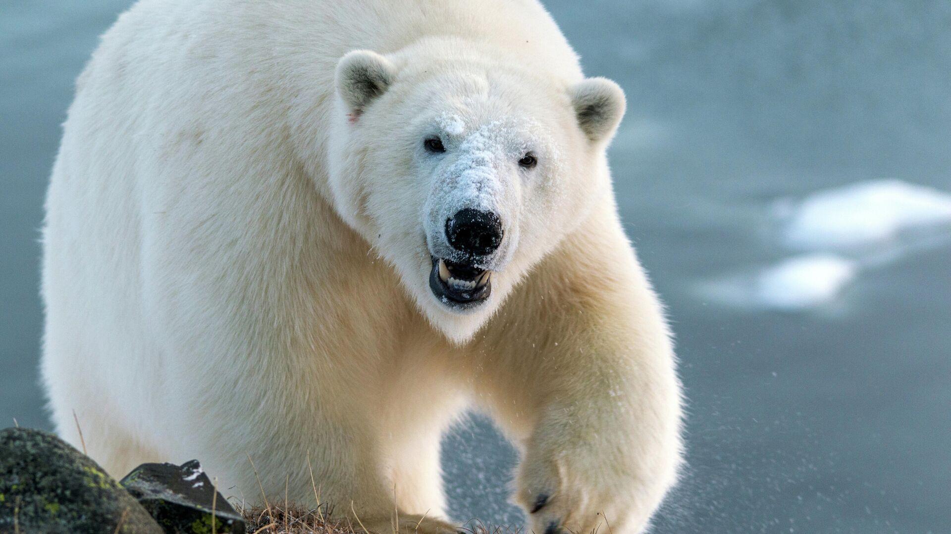 Un oso polar - Sputnik Mundo, 1920, 18.02.2021