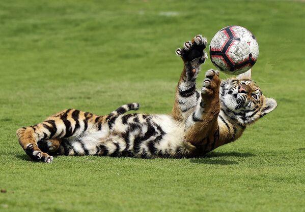Un cachorro de tigre juega con una pelota en un zoo privado Al-Buqaish en el emirato de Sharjah, Emiratos Árabes Unidos. - Sputnik Mundo
