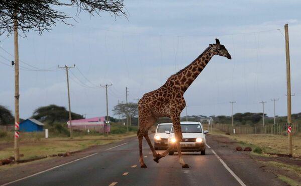 Una jirafa cruza el camino en el parque natural Kimana Sanctuary, Kenia. - Sputnik Mundo