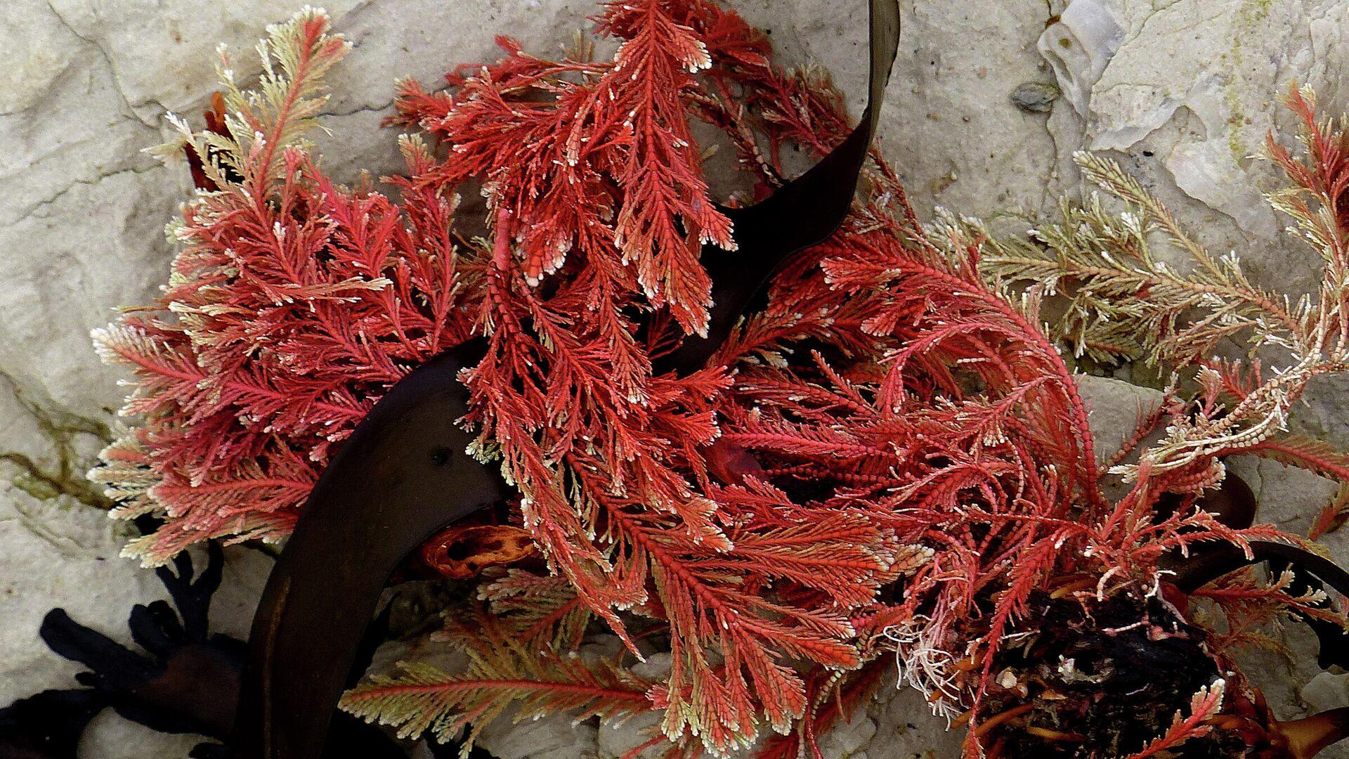 Algas rojas - Sputnik Mundo, 1920, 11.03.2021