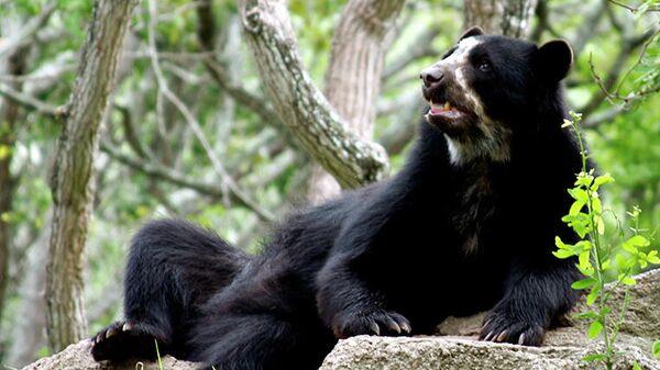 Oso frontino (oso de anteojos, andino, suramericano, ucumari o jukumari) - Sputnik Mundo