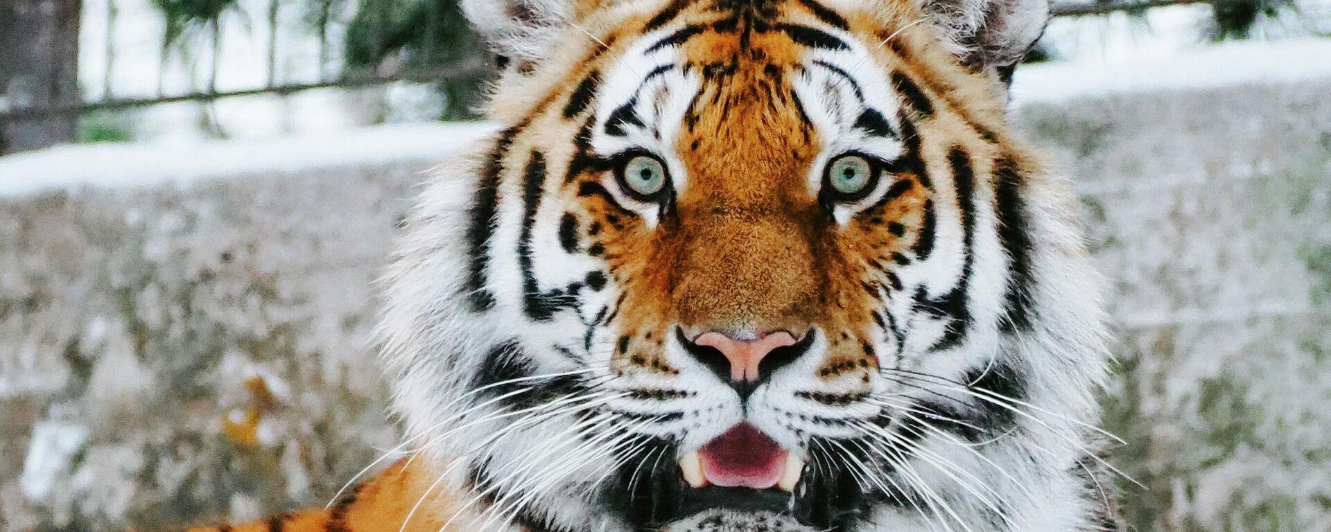 Un tigre - Sputnik Mundo, 1920, 12.07.2021