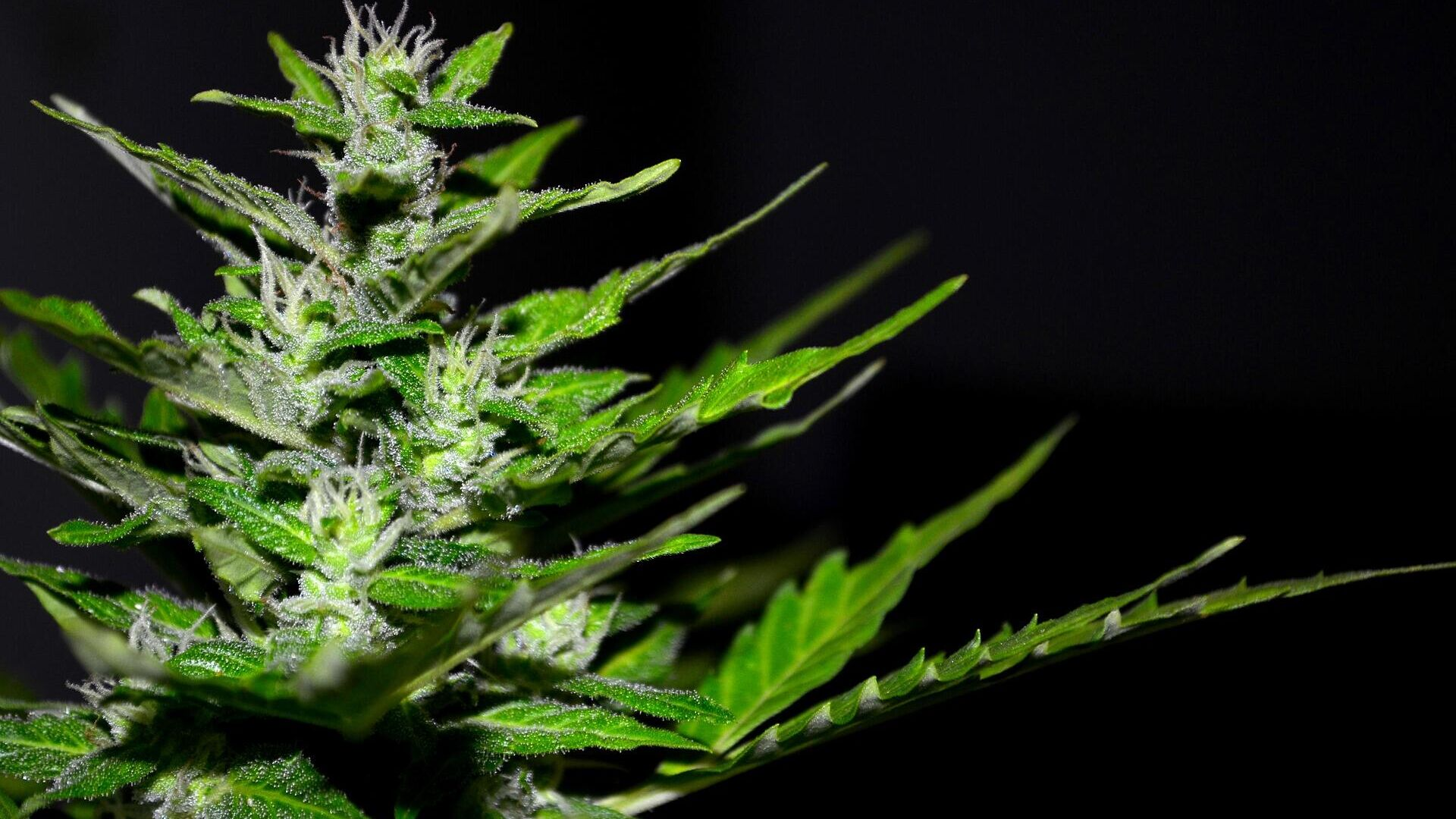 Cannabis (imagen referencial) - Sputnik Mundo, 1920, 29.09.2021