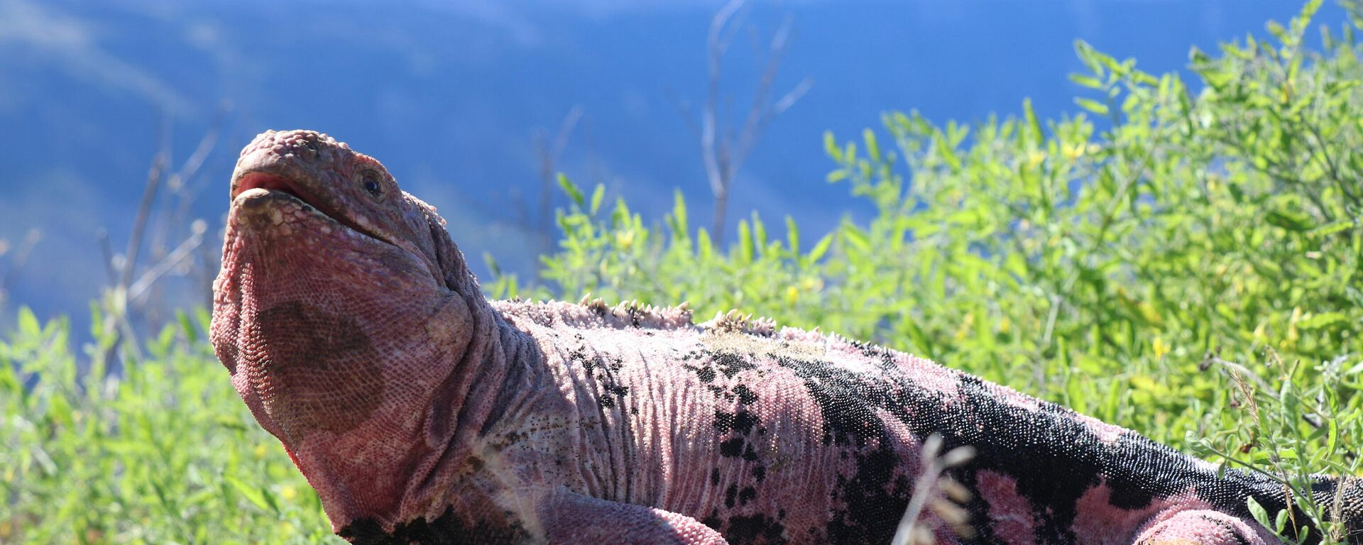 Una iguana rosada, Conolophus marthae - Sputnik Mundo, 1920, 27.08.2021