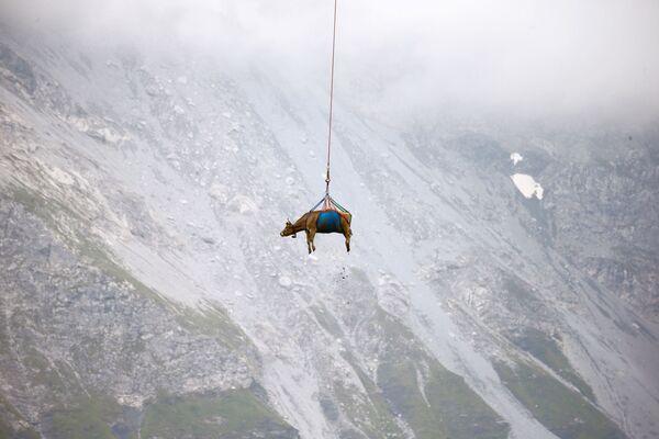 Una vaca transportada en helicóptero después de su estancia veraniega en los prados de los Alpes suizos cerca del puerto de Klausen, Suiza, el 27 de agosto de 2021. - Sputnik Mundo