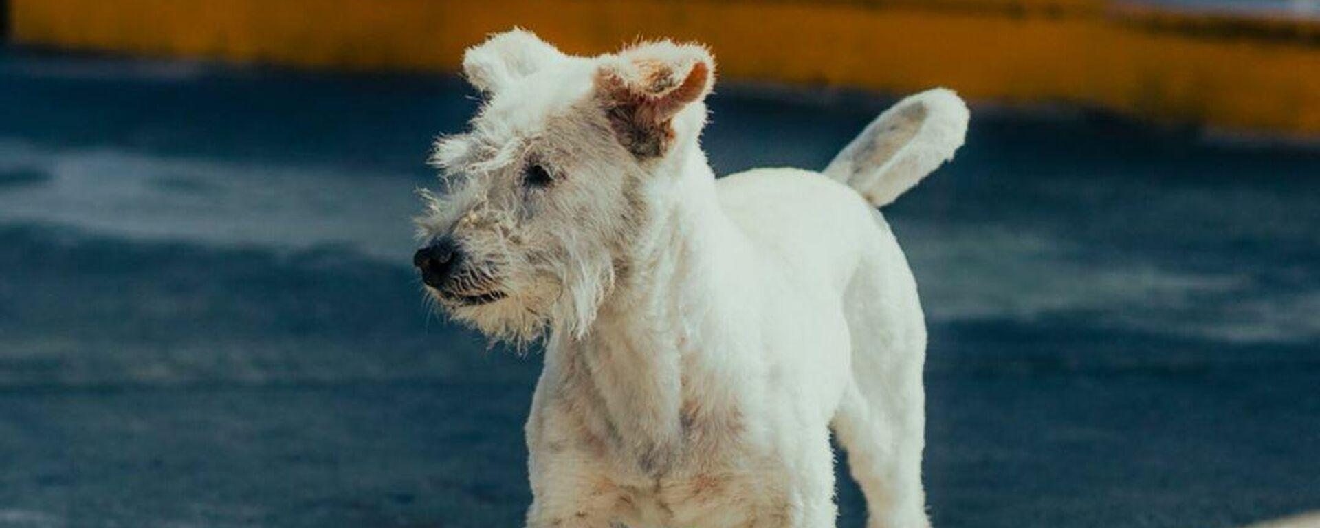 Gasolín, el perro 'influencer' que trabaja en una gasolinera mexicana - Sputnik Mundo, 1920, 09.09.2021