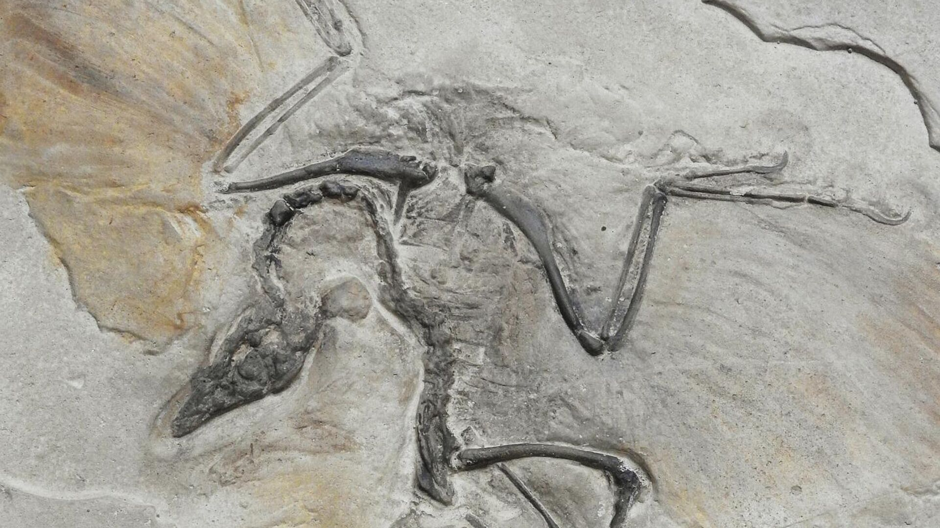 El fósil de un ave (imagen referencial) - Sputnik Mundo, 1920, 17.09.2021