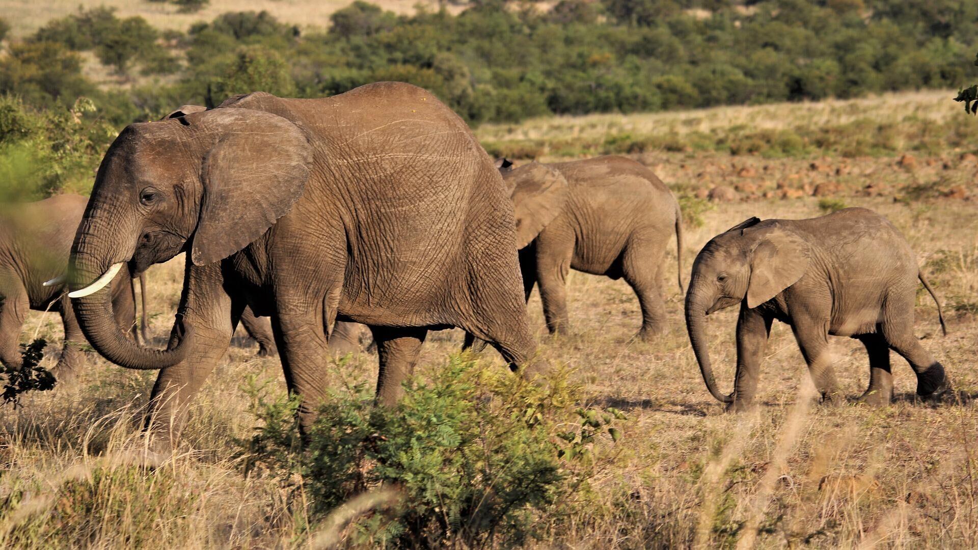 Unos elefantes  - Sputnik Mundo, 1920, 25.09.2021