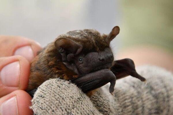 Un murciélago en la zona de exclusión de Chernóbil. - Sputnik Mundo