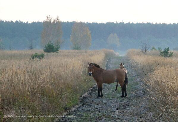 Caballos salvajes en la zona de exclusión de Chernóbil. - Sputnik Mundo