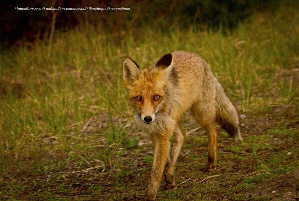 Un zorro en la zona de exclusión de Chernóbil. - Sputnik Mundo