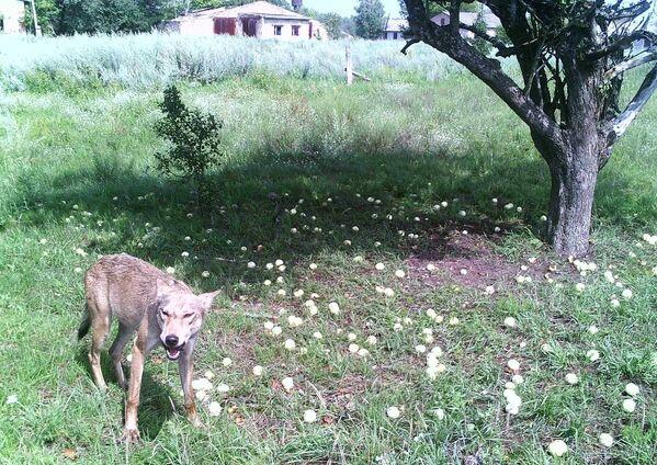 Un lobo en la zona de exclusión de Chernóbil. - Sputnik Mundo