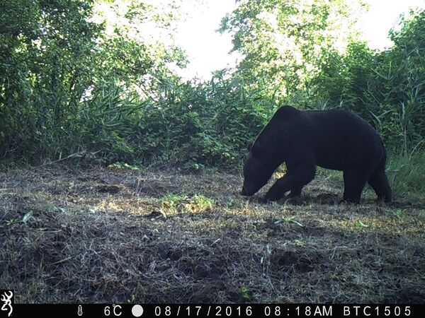 Un oso pardo en la zona de exclusión de Chernóbil. - Sputnik Mundo