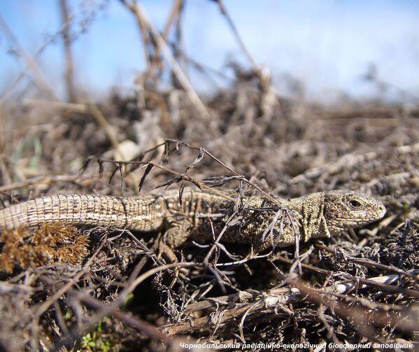 Una lagartija en la zona de exclusión de Chernóbil. - Sputnik Mundo