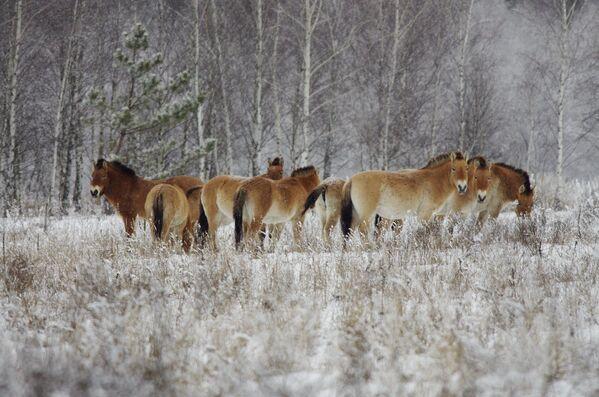 Unos caballos salvajes en la zona de exclusión de Chernóbil. - Sputnik Mundo