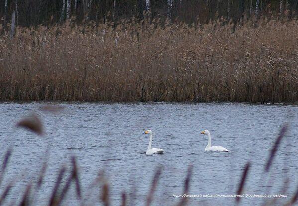 Unos cisnes en la zona de exclusión de Chernóbil. - Sputnik Mundo