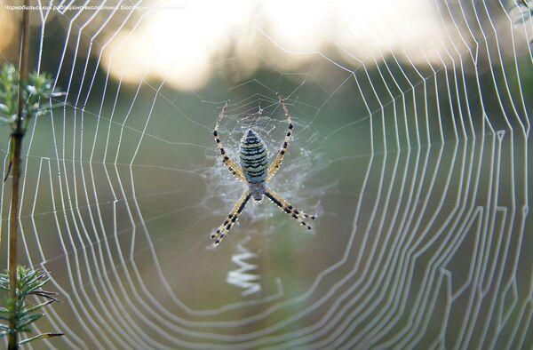 Una araña en la zona de exclusión de Chernóbil. - Sputnik Mundo